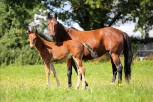 IHRA  raffle for  Trotteur Francais broodmare